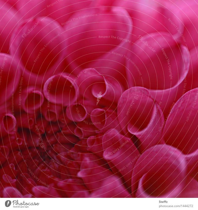 Dahlia II Nature Plant Summer Autumn Flower Blossom Blossom leave garden flower Garden plants Blossoming Near Natural Beautiful Pink Red Romance Blur September