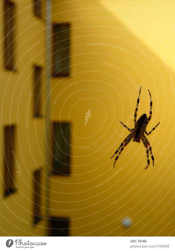 In ambush. House (Residential Structure) Animal Facade Balcony Window Spider 1 Net Observe Wait Threat Astute Speed Yellow Watchfulness Patient Calm Endurance