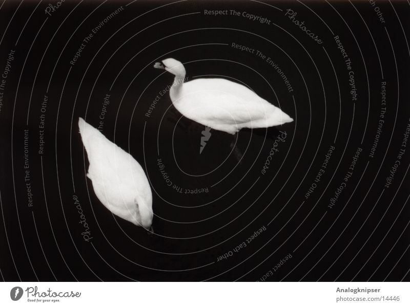 Water Love Lake Bird Together Pair of animals In pairs Copy Space Pond Swan Related Bird 'flu Dark background