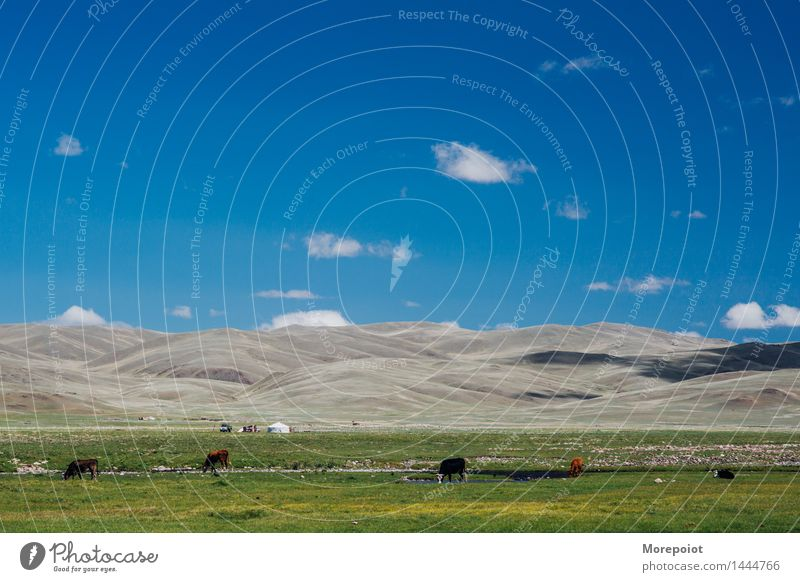 Cows graze in the field in front of the hills cows Field Hill hillside Hilly landscape Yurt nomad altay Landscape Nature Green Grass Summer countryside farm