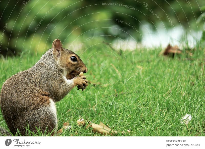 tailless Squirrel Park Animal To hold on Possessions Watchfulness Upper body Gray Feeding Tight-fisted Avaricious Speed Green Background picture Desire Cute