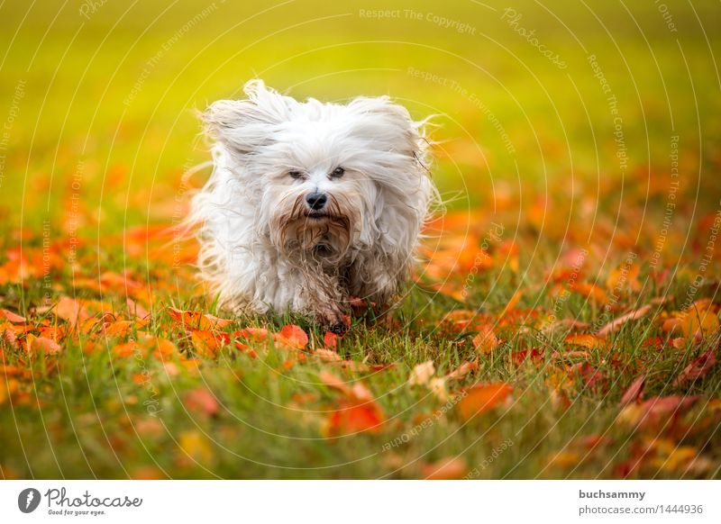 Autumn Meadow Nature Animal Grass Leaf Long-haired Pet Dog 1 Small Green White bichon Bichon Havanais Havanese Seasons Orange Mammal Copy Space flare Walking