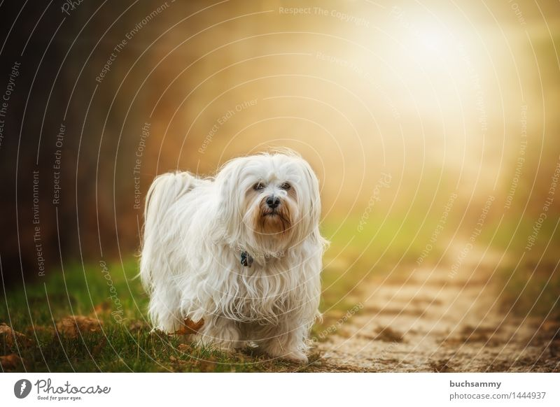 Dog Nature White Leaf Animal Autumn Grass Small Copy Space Stand Seasons Long-haired Pet Mammal