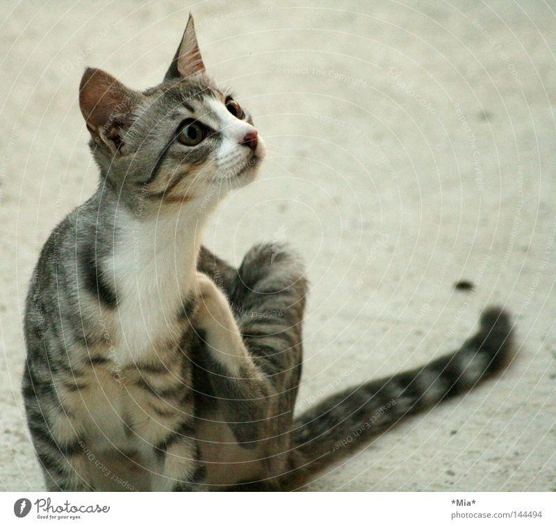 Animal Gray Cat Sweet Curiosity Mammal Scratch Kitten