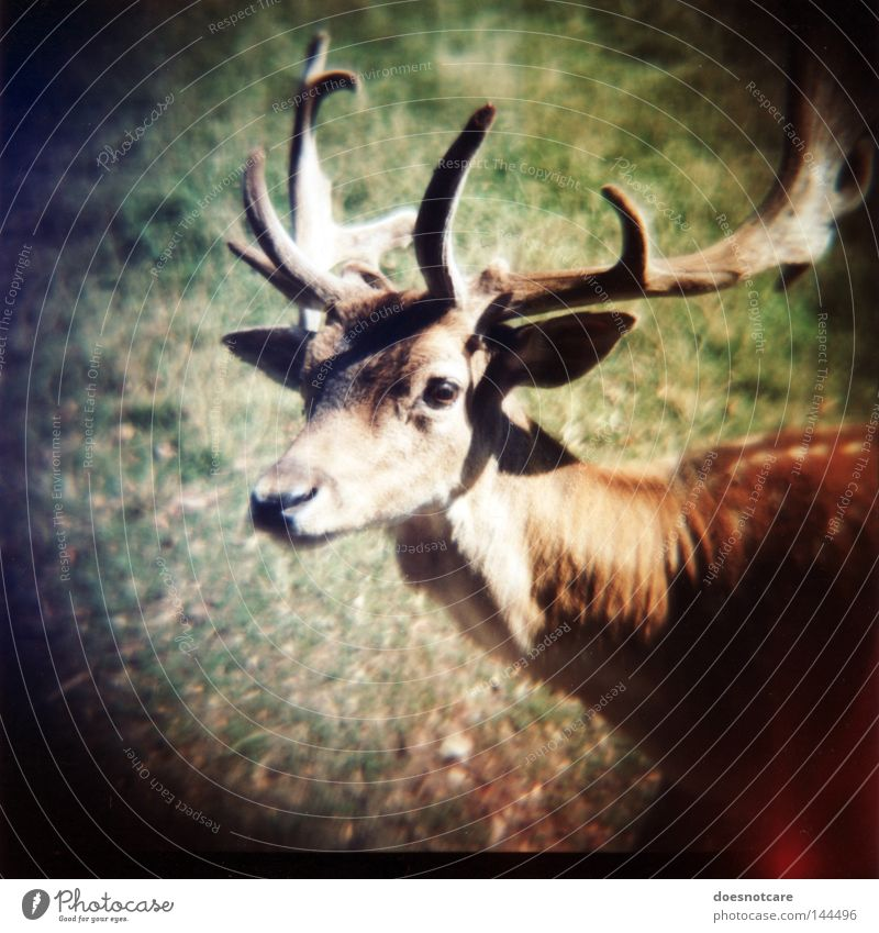 hunter. (on what it means to live in fear.) Nature Animal Lomography Pelt Wild animal Cute Antlers Timidity Deer Roe deer Medium format Roll film Fallow deer