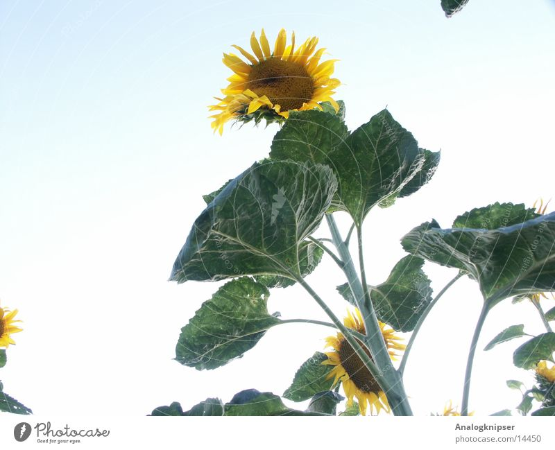 Sky Sun Flower Green Blue Summer Yellow Blossom Sunflower