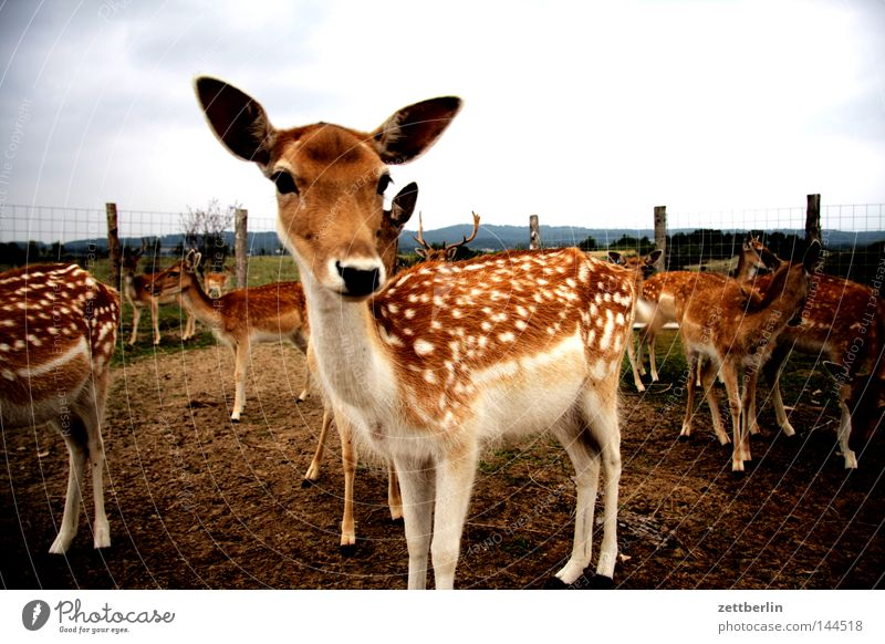 Dama dama Fallow deer Wild animal Vension Bambi Roe deer Female deer Fawn Fence Fenced in Captured Carnivore Animal Mammal saddle up reindeer buck