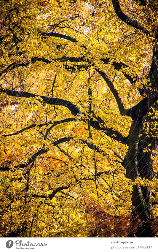 Autumn is yellow Vacation & Travel Tourism Trip Far-off places Sightseeing Hiking Environment Nature Landscape Plant Beautiful weather Tree Leaf Park Forest
