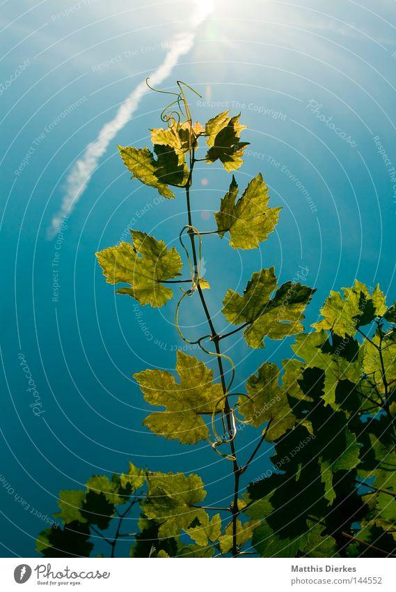 Wine Vine leaf Leaf Summer Grape harvest Stalk Bushes Tendril Back-light Green Wine growing Vineyard Bunch of grapes Harvest Sun Sky greenish Lamp