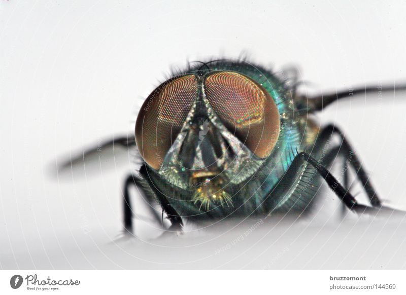 Puck Revisited Fly Insect Compound eye Frontal Animal face Blowfly Glittering Looking Macro (Extreme close-up) Close-up Eyes