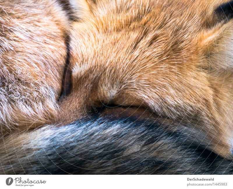 Sleeping Mr. Fox Calm Nature Animal Pelt Lie Bright Cuddly Background picture fox For red growth Day forest dwellers Europe Colour fluffy hunter Cuddling