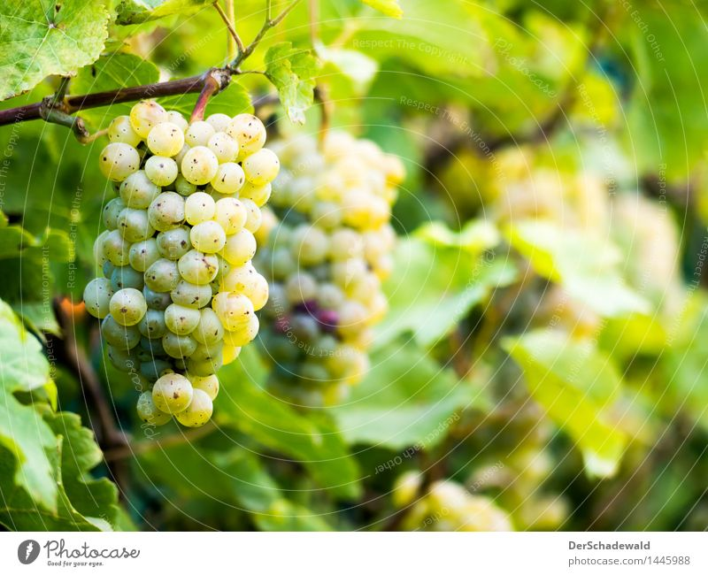 Grapes on the fence Food Fruit Nutrition Organic produce Vegetarian diet Slow food Finger food Wine Wellness Life Relaxation Fragrance Nature Plant Leaf