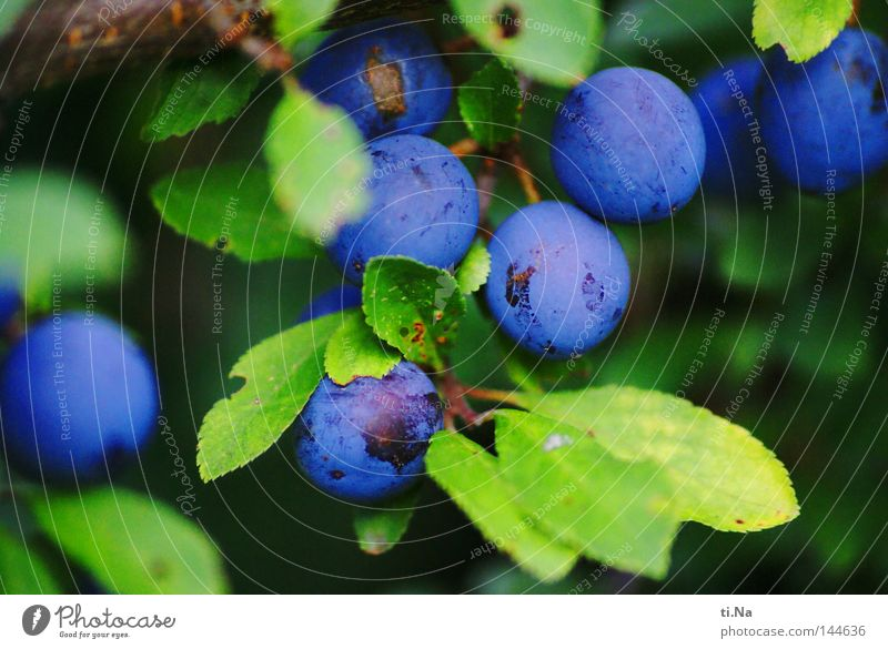 Blue Green Plant Leaf Fruit Bushes Sphere Berries Sloe