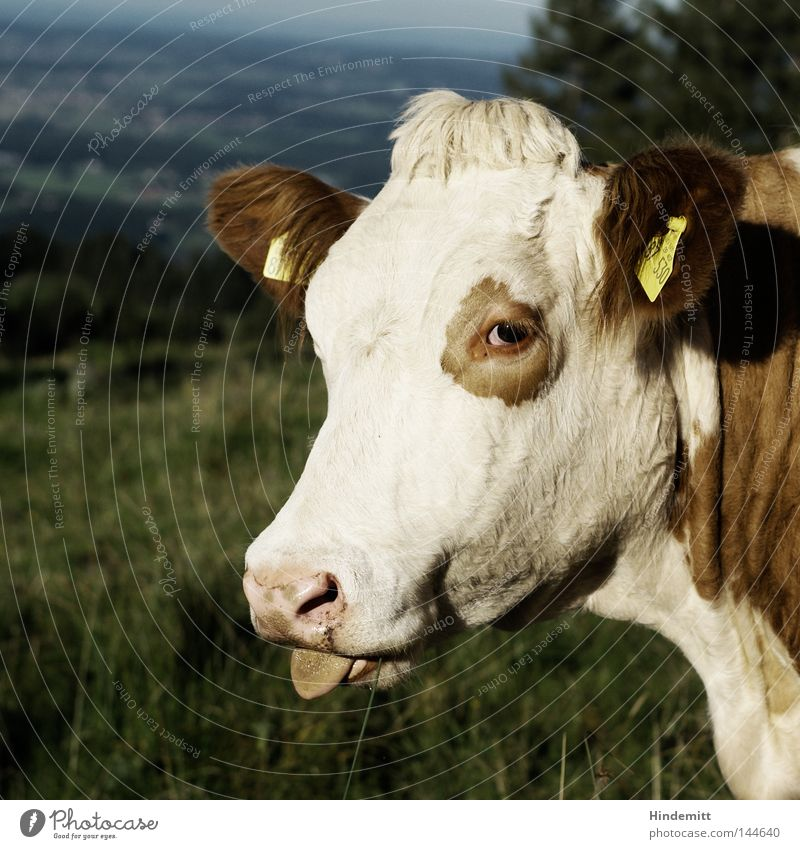 What A Cheek! Cow Cattle Livestock Pasture Alps German Alps Mountain Green Spotted mountain cattle Tongue Hair and hairstyles Snout Muzzle Nose Stick out