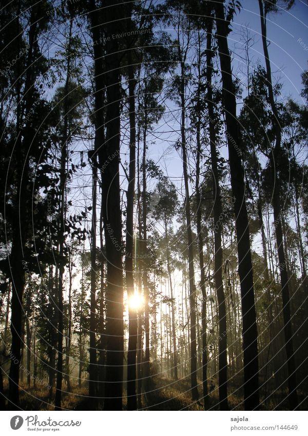 eucalyptus forest Harmonious Calm Sun Nature Landscape Sky Autumn Tree Forest Moody Power Peaceful Eucalyptus tree Tree trunk Galicia Spain Europe Force