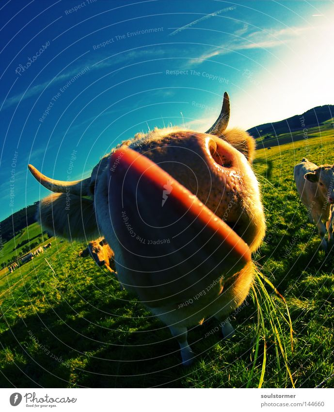 Sky Nature Clouds Calm Far-off places Meadow Nutrition Freedom Grass Nose Ear Lawn Fisheye Pasture Cow