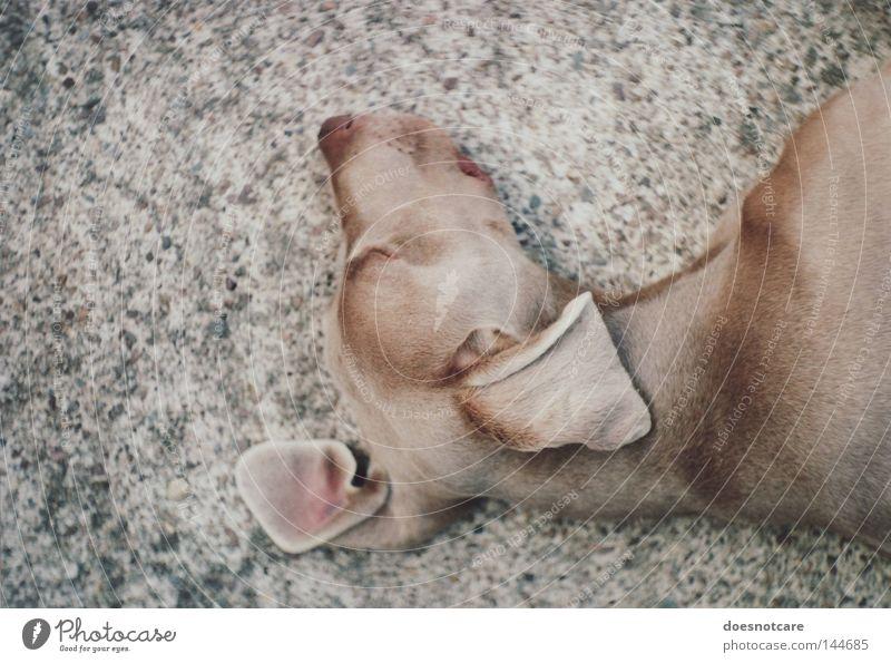 truce. Animal Pet Dog Hound Weimaraner 1 Relaxation Lie Sleep Beautiful Cute Brown Boredom Fatigue exa 1b Analog 35mm film Colour photo Subdued colour