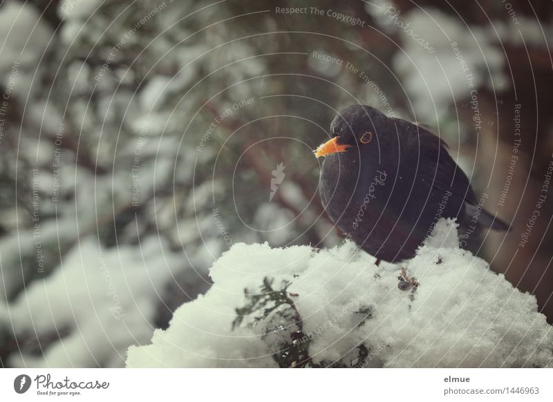 box seat Winter Snow Tree Bird Blackbird 1 Animal Observe Looking Sit Curiosity Love of animals Appetite Reluctance Loneliness Indifferent Timidity Hope Contact