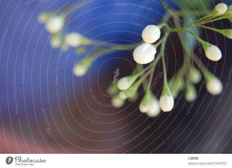 White Flower Green Blue Plant Black Blossom Spring Wait Closed Hope Pure Desire Delicate Curiosity Stalk