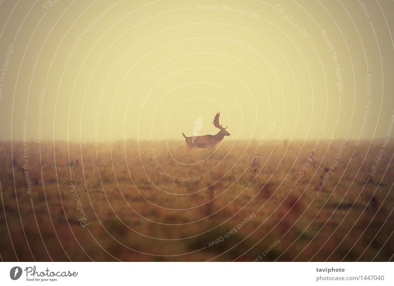 fallow deer buck in misty morning Beautiful Hunting Man Adults Nature Landscape Animal Autumn Weather Fog Tree Grass Meadow Natural Wild Colour Deer Fallow land