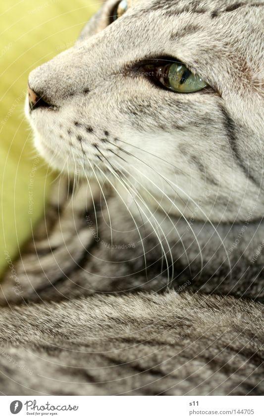 Cat Green White Animal Black Eyes Gray Lie Soft Nose Trust Pelt Pet Mammal Blanket Domestic cat