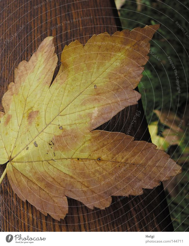 Tree Leaf Yellow Colour Autumn Meadow Grass Garden Wood Park Brown Bench To go for a walk Lie To fall Wooden board