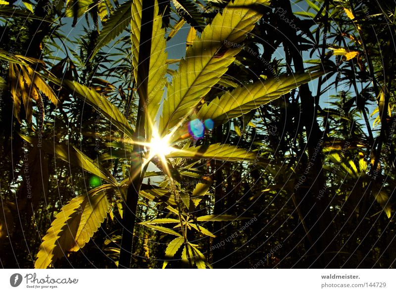 Sun Leaf Field Intoxicant Lens flare Plantation Hemp Cannabis X-rayed Industrial Hemp Cannabis leaf
