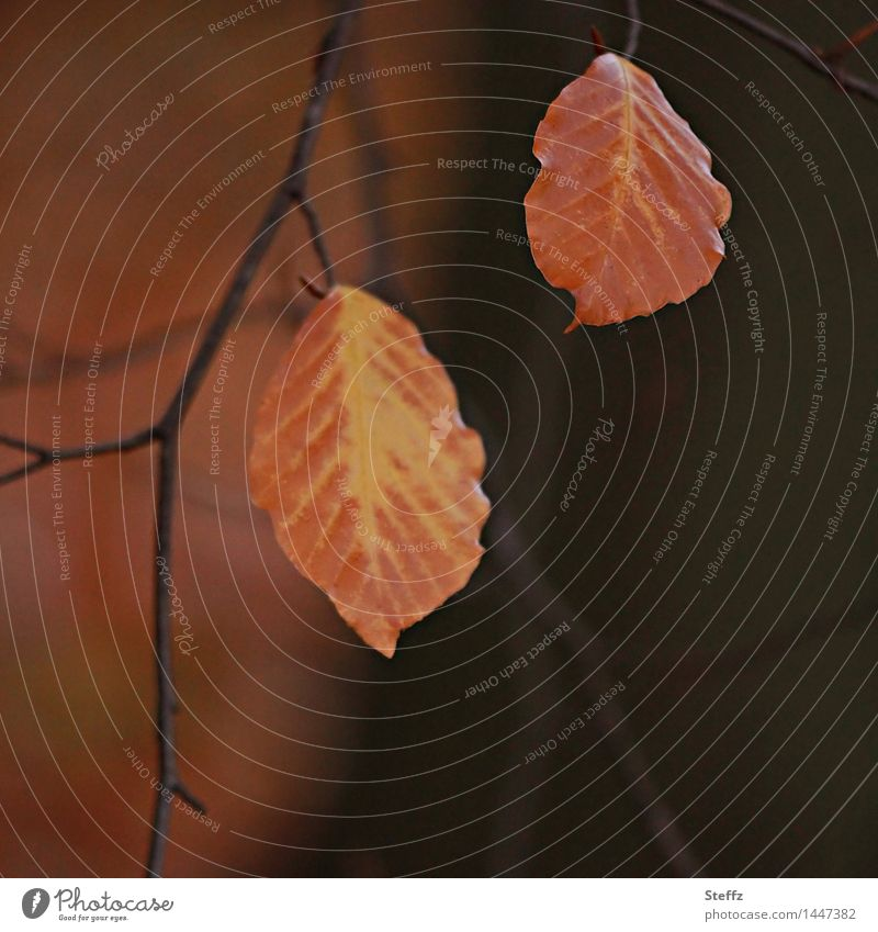 two autumn leaves remain be connected Cohesive at the same time Together transient Match two together beech leaves autumn impression Transience Autumn solitude