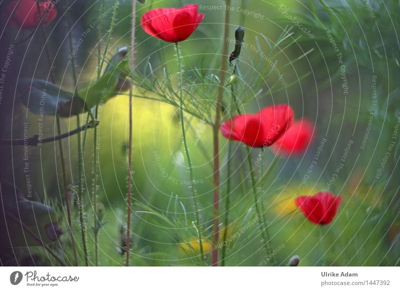 Light-flooded poppies in a meadow Nature Plant Summer Beautiful weather Flower Bushes Leaf Blossom Wild plant Poppy Poppy blossom poppy flower Meadow flower