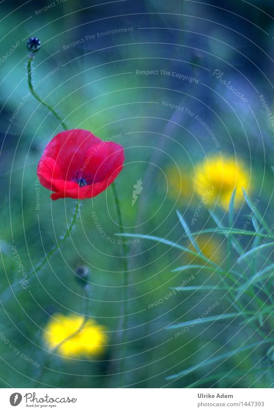 Painting Poppy Nature Plant Summer Beautiful weather Flower Blossom Wild plant poppy flower Poppy blossom Garden Park Meadow Field Country  garden Blossoming