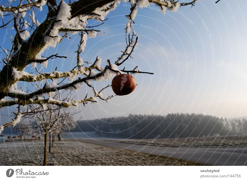 winter apple Apple Winter Ice Frost Tree Apple tree Cold Hoar frost Mature Forget Snowscape Frozen