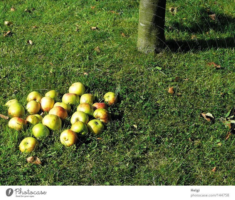 Tree Green Red Leaf Yellow Autumn Meadow Grass Garden Park Healthy Fruit Round Lie To fall Apple