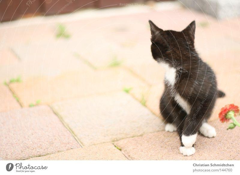 White Flower Black Stone Cat Ear Mammal Domestic cat