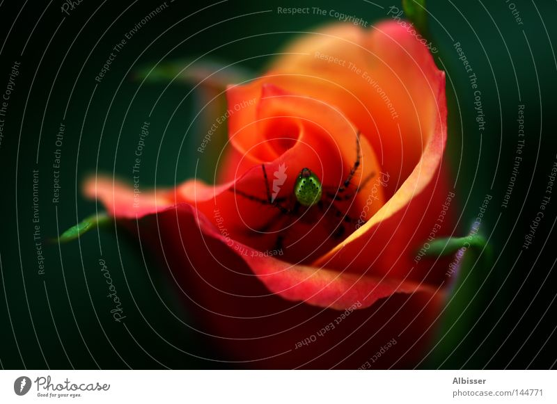 Green Beautiful Red Plant Flower Colour Black Orange Rose Romance Spider Hideous Beast