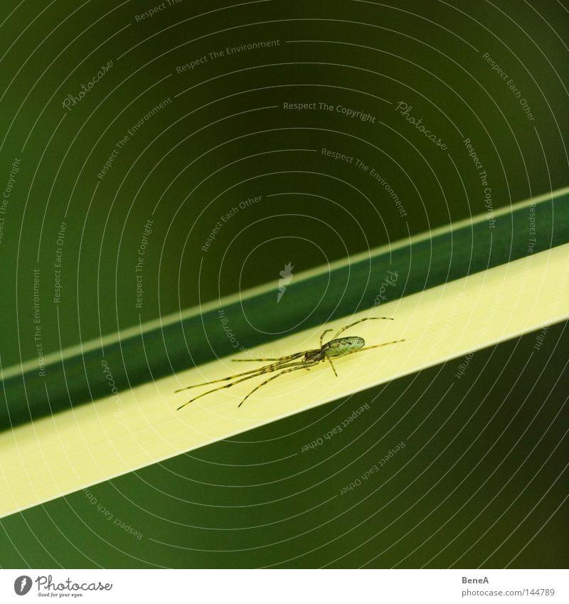 spider Calm Plant Grass Spider Observe Sit Wait Yellow Green Fear Diagonal Downward Flat Level flask lurking Colour photo Exterior shot Detail