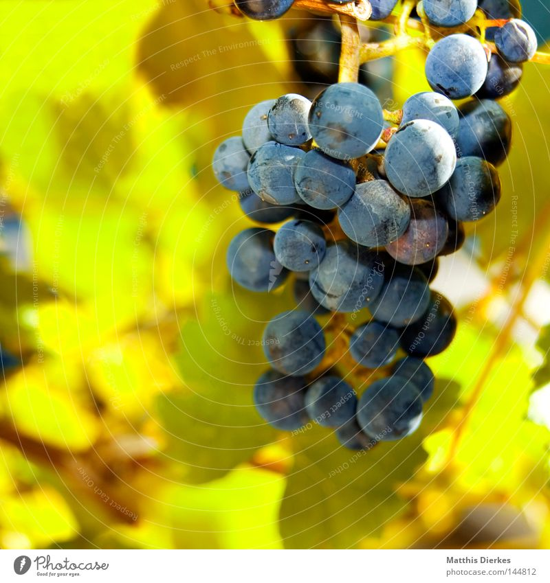 grapes Vine leaf Leaf Summer Grape harvest Stalk Bushes Tendril Back-light Green Wine growing Vineyard Bunch of grapes Alcoholic drinks Harvest greenish Lamp