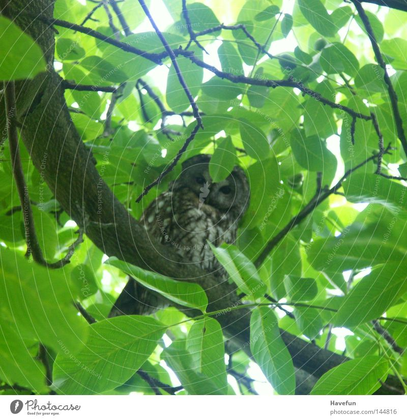 Observe Branch Watchfulness Treetop Twig Attentive Owl birds Leaf canopy Owl eyes