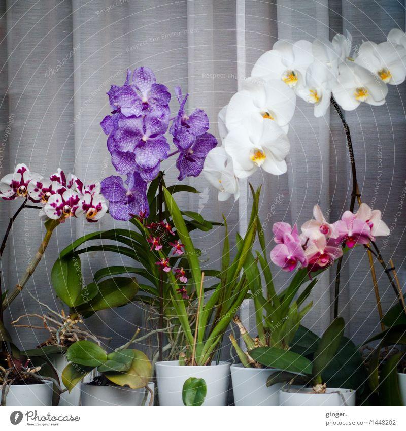 Urban Window Orchid Arrangement Plant Flower Leaf Blossom Pot plant Green Violet Pink White Arranged Speckled Flowerpot Curtain Gray Window pane Exterior hobby