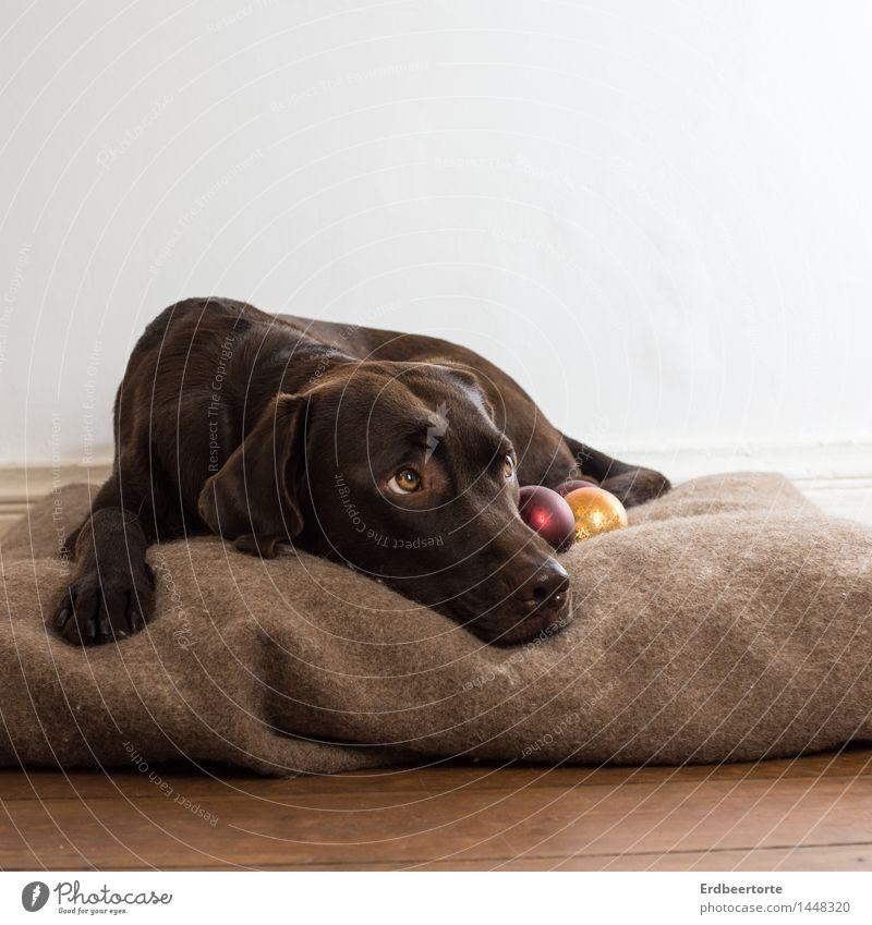 treasure Animal Pet Dog Labrador Hound Observe Lie Wait Beautiful Brown Love of animals Watchfulness Serene Patient Christmas & Advent Glitter Ball Protect