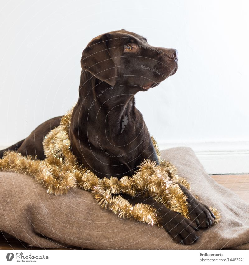 diva Elegant Party Feasts & Celebrations Christmas & Advent Animal Pet Dog Labrador 1 Observe Lie Brown Gold Watchfulness Festive Paper chain Tinsel Decoration