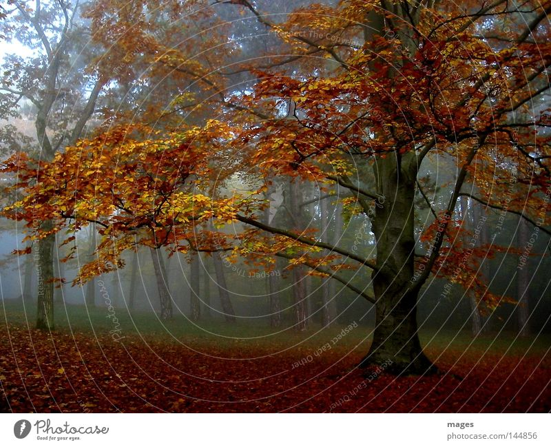 autumn forest Tree Autumn Fog Morning Forest Leaf Damp Orange Yellow Brown Gold Calm Peace Automn wood Morning fog Dawn Peaceful