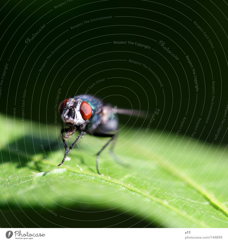 Green Summer Leaf Animal Eyes Legs Sit Glittering Fly Flying Insect Cleaning Frontal Front side Compound eye Flesh fly