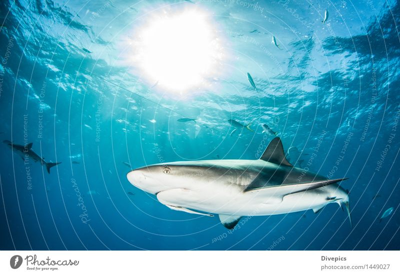 Caribbean reef shark Nature Vacation & Travel Blue Summer Water Ocean Animal Life Wild Dangerous Fish Risk Deep Dive Underwear Tropical