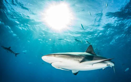 Caribbean reef shark Nature Vacation & Travel Blue Summer Water Ocean Animal Life Wild Dangerous Fish Risk Deep Dive Underwear Tropical