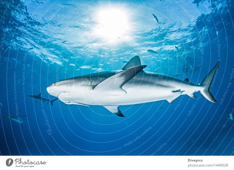 Caribbean Reef Shark Nature Vacation & Travel Blue Summer Water Ocean Animal Life Background picture Wild Dangerous Fish Risk Deep Dive Under