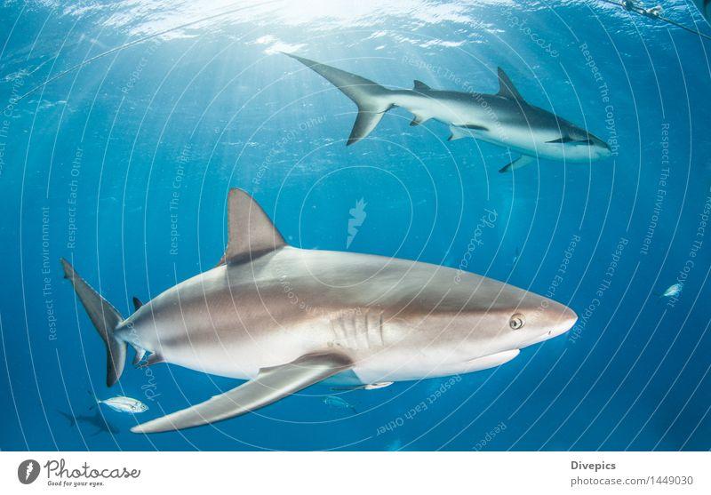 Caribbean reef shark Nature Vacation & Travel Blue Summer Ocean Animal Life Wild Dangerous Fish Deep Dive Tropical Coral Bahamas Reef shark