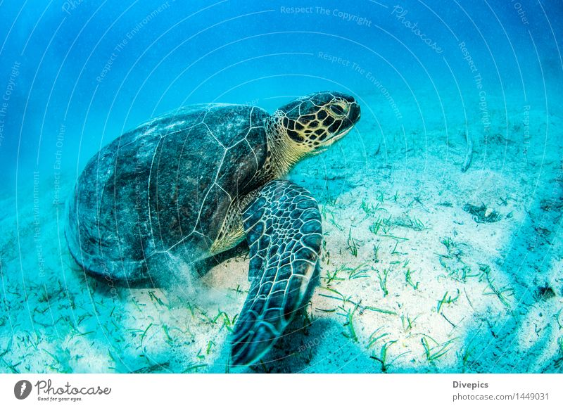Sea Turtle Dive Animal Wild animal Fish Swimming & Bathing Authentic Exceptional Good Beautiful Green Emotions turtle scuba diving Colour photo Multicoloured