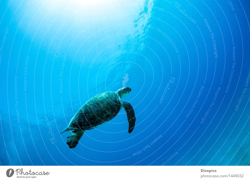 Sea turtle Human being Nature Vacation & Travel Blue Water Ocean Animal Background picture Sports Swimming & Bathing Wild Wild animal Fish Mask Dive