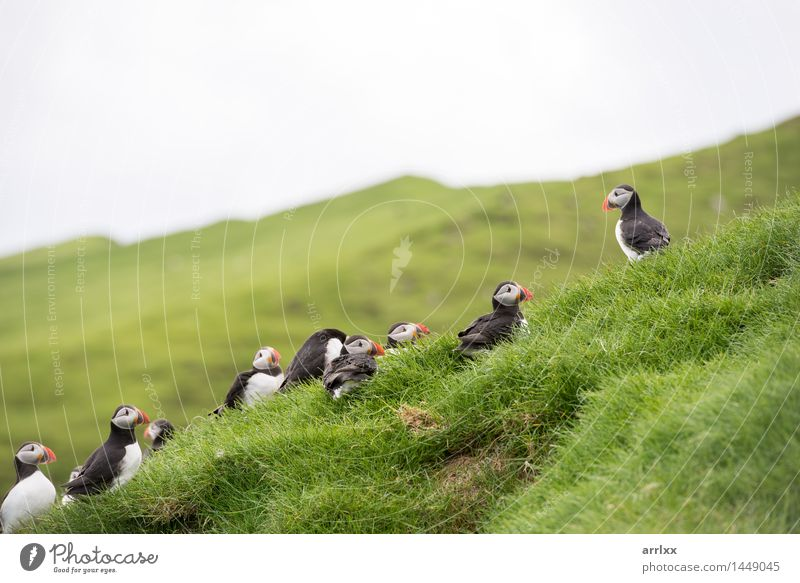 Atlantic puffins, Fratercula arctica Environment Nature Landscape Animal Grass Wild animal Bird Group of animals Funny Natural Cute Black White positive