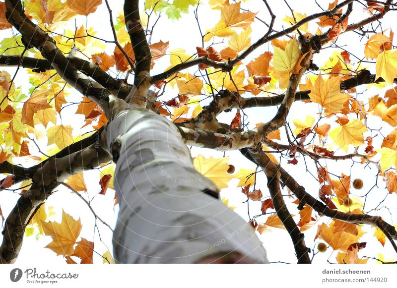 Autumn 1 Tree Leaf Tree trunk Seasons Light Yellow Brown Green Transience Perspective Colour American Sycamore Branch Orange